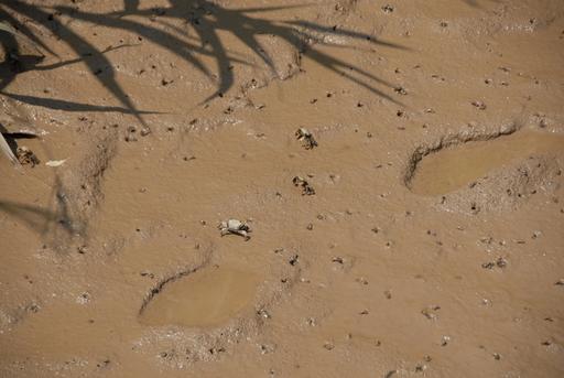 西沙湿地のカニ